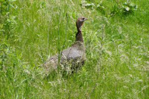 A wild turkey sighted walking in the grass at Lake Edge Cottages